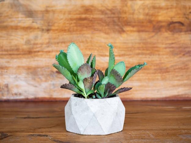 Zielona soczysta roślina, kalanchoe hybrid w geometrycznej betonowej doniczce na drewnianej powierzchni.