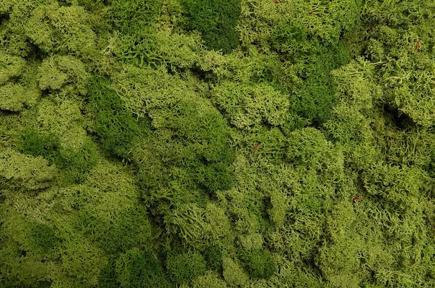 Zielona, stabilizowana tekstura mchu.