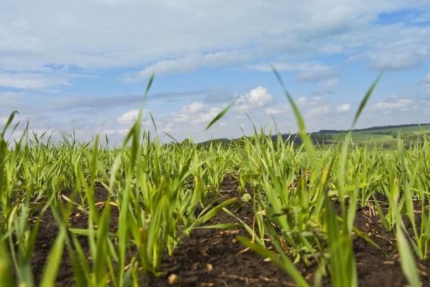 Zielona trawa i błękitne niebo pochmurne