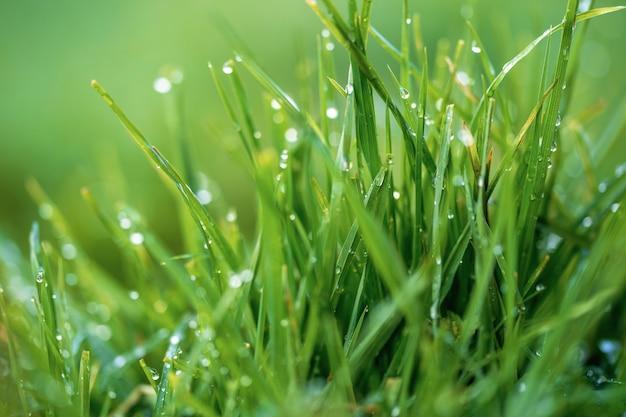 Zielona trawa i krople porannej rosy. świeża zielona trawa z rosa kropel zbliżeniem.