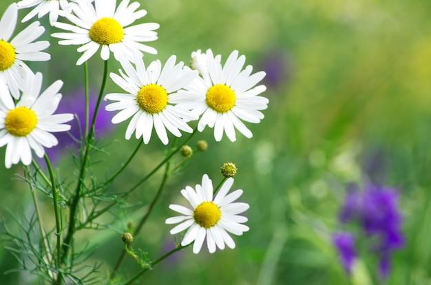 Zielona trawa i rumianki w naturze