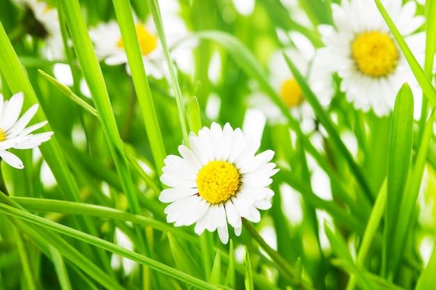 Zielona trawa i stokrotka