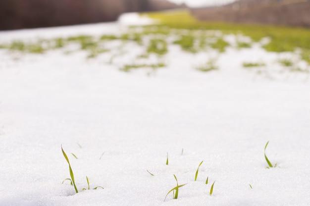 Zielona trawa kiełkuje przez śnieg