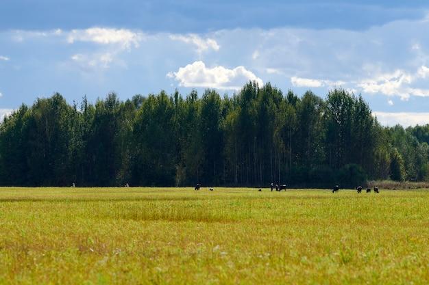 Zielona trawa, łąka pole, tło lasu. letni krajobraz, pastwisko bydła. piękna trawa i las tło dla projektu.
