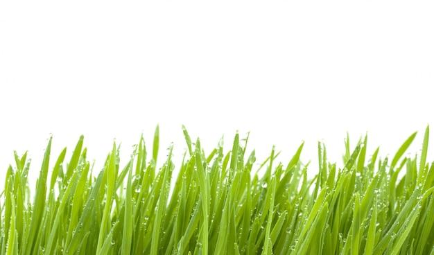 Zielona trawa odizolowywająca na białym tle