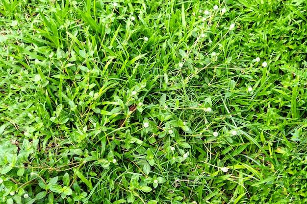 Zielona trawa tekstura tło. zielony trawnik wzór i tekstura tło. zbliżenie.