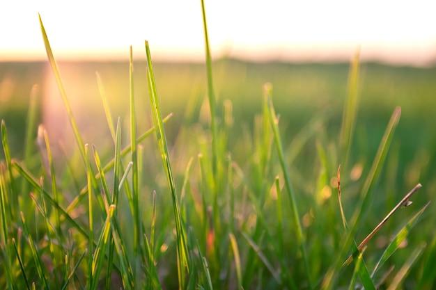 Zielona trawa tło na zachód słońca. letni krajobraz z trawą łąkową na tle zmierzchu nieba.