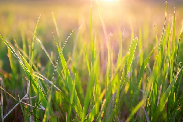 Zielona trawa tło z promienia słońca na nieostrość.