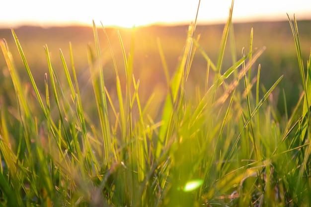 Zielona trawa tło z promienia słońca na zachód słońca. nieostrość.