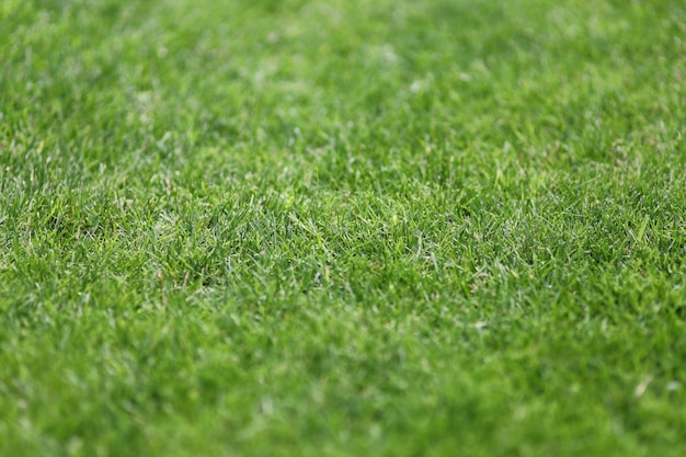 Zielona trawa trawnikowa na podwórku lub stadionie