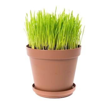 Zielona trawa w doniczce na białym tle