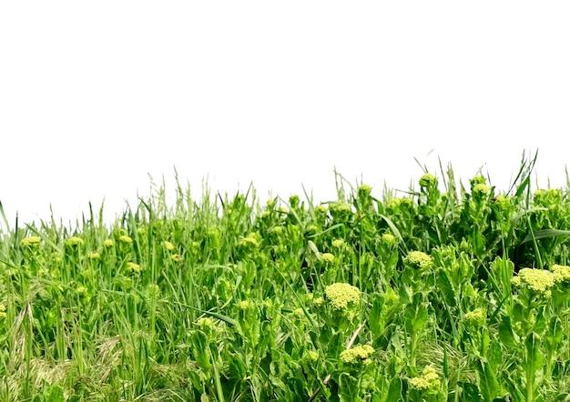 Zielona trawa, wyizolowana nad białym
