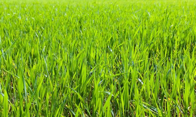 Zielona trawa z bliska na polach uprawnych, z których rośnie pszenica lub żyto, zbliżenie