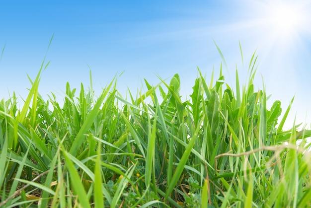 Zielona trawa z niebieskim słonecznym niebem w tle