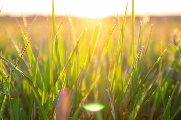 Zielona trawa z promieniem słońca na zachód słońca i nieostrość.
