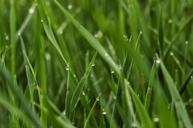 Zielona trawa z rosą, zamyka up.