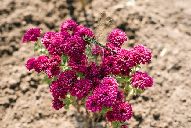 Zielona ważka siedzi na purpurowych kwiatach chryzantemy w ogrodzie