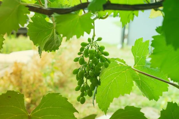Zielona wiązka winogrona wiesza po środku liść ramy przeciw zamazanemu tłu.