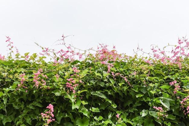 Zielona winorośl z różowymi kwiatami