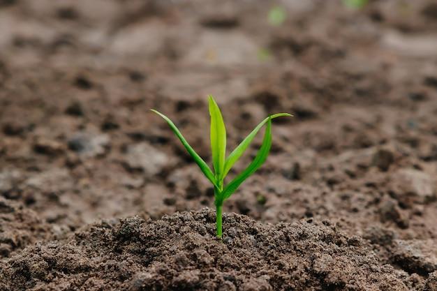 Zielona wyrasta z ziemi