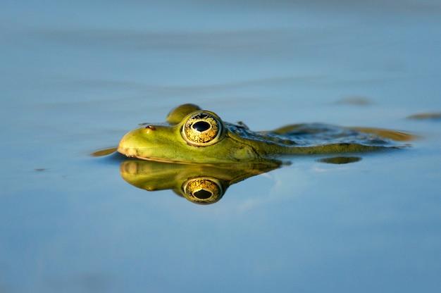 Zielona żaba błotna pelophylax ridibundus na pięknym świetle