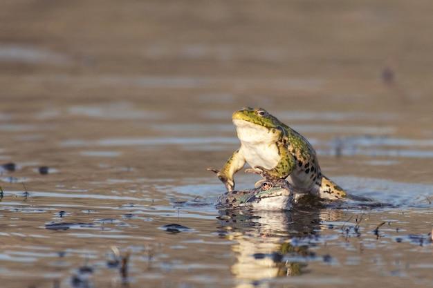 Zielona żaba błotna pelophylax ridibundus, w skoku na pięknym świetle.