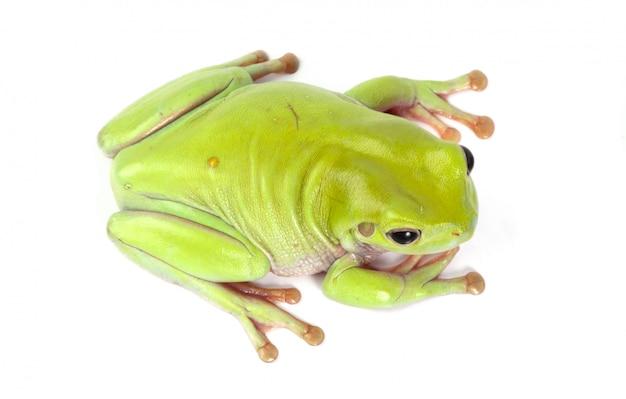 Zielona żaba drzewna