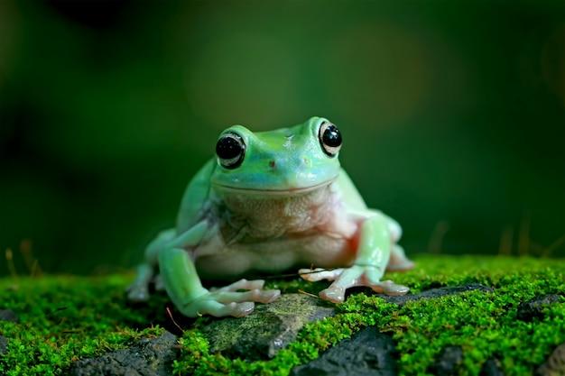 Zielona żaba, dumpy frog, papua zielona żaba