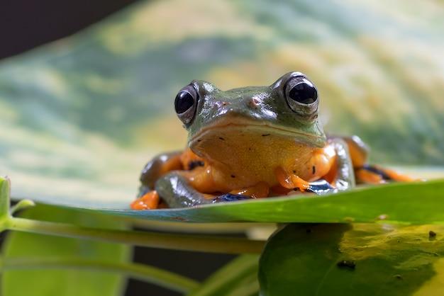 Zielona żaba latająca drzewo siedzący na liściu