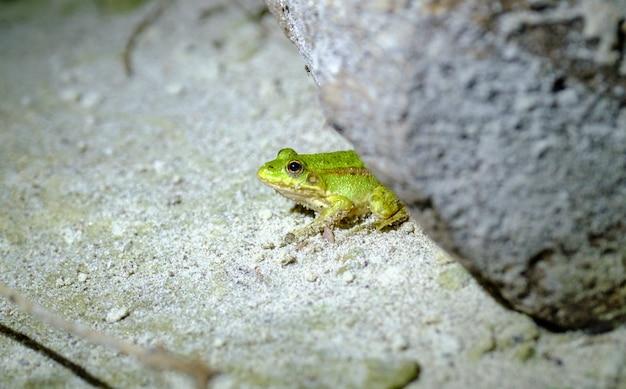 Zielona żaba na ziemi. żaba zbliżenie