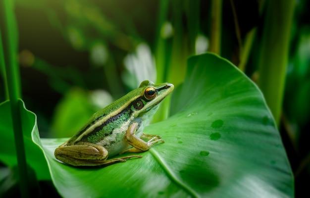 Zielona żaba niełuskana w przyrodzie na zielonym liściu
