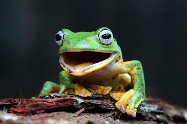 Zielona żaba z otwartymi ustami na drzewie