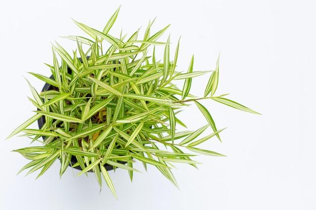 Zielona żółta roślina w garnku na białym tle. widok z góry thyrsostachys siamensis gamble.