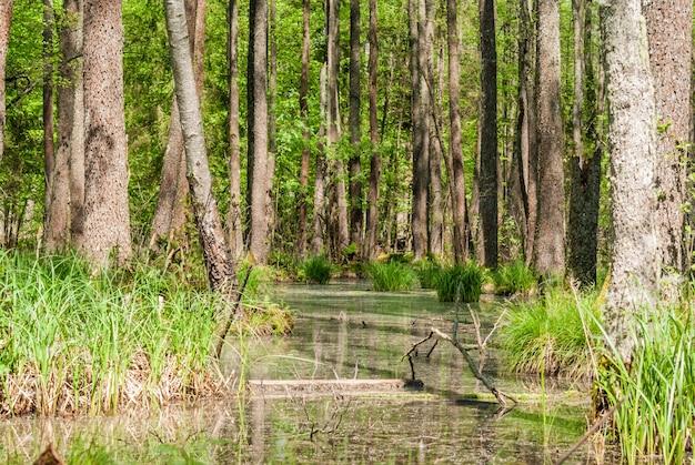Zielone bagno w lesie