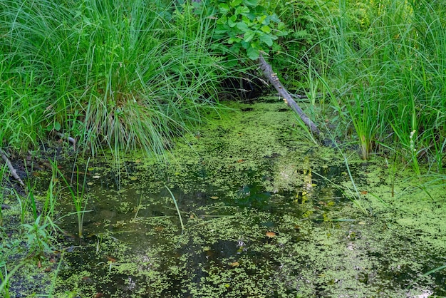 Zielone bagno z algami, trawą, drzewami i roślinami na pustyni.