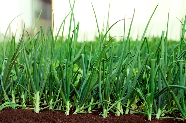 Zielone cebule rosnące w ogrodzie. wiosenne warzywa. łóżko z zieloną cebulką z bliska