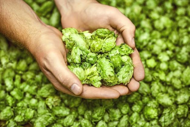 Zielone chmiele do piwa. człowiek posiadający zielone szyszki chmielowe.