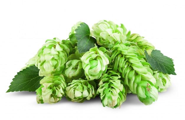 Zielone chmielu na białym tle