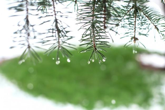 Zielone choinki w parku zimowym pokryte śniegiem