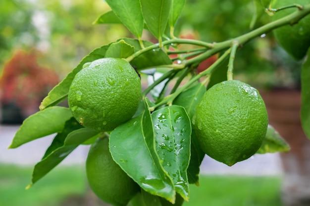 Zielone cytryny z kroplami deszczu, wiszące na drzewie