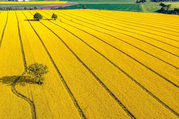 Zielone drzewa pośrodku dużego kwitnącego żółtego pola rypsowego, widok z góry
