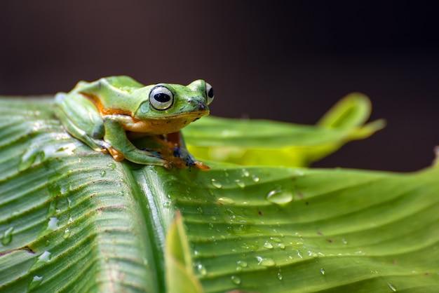 Zielone drzewo latająca żaba siedzący na drzewie bananowym