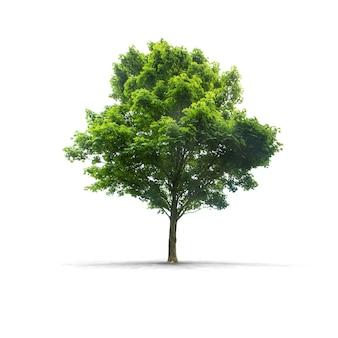 Zielone drzewo na białym tle