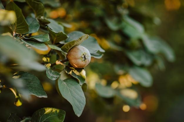 Zielone drzewo z młodymi pomarańczowymi owocami pigwy