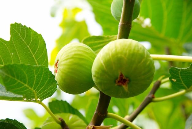 Zielone figi na drzewie.