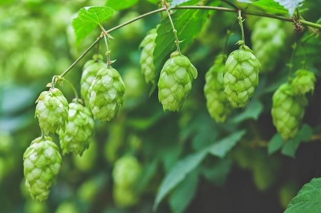 Zielone gałęzie chmielu