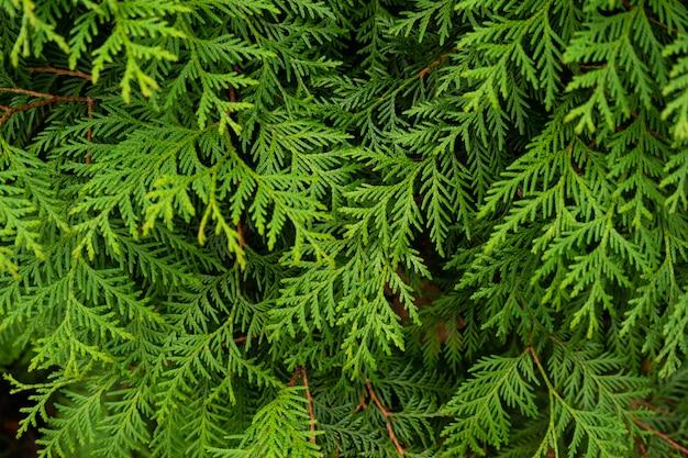 Zielone gałęzie jodły