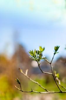 Zielone gałęzie klonu