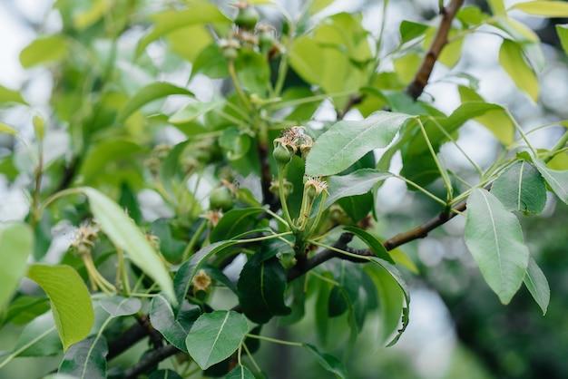 Zielone gruszki rosnące na gałęziach drzew z bliska