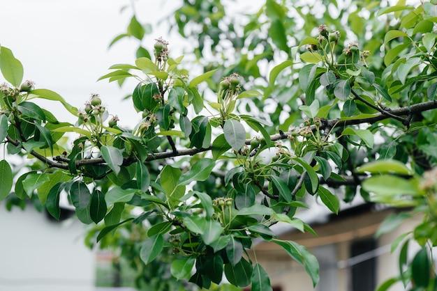 Zielone gruszki rosnące na gałęziach drzew z bliska.